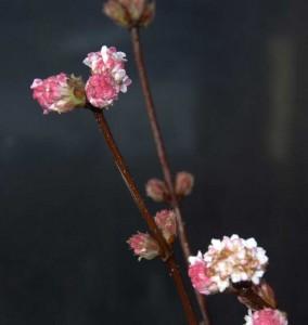 viburnum bodnantense dawn specimen plant