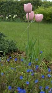 tulip-lithodora
